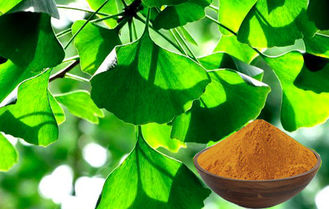 CHP2015 Ginkgo Biloba Leaf Powder For Improving Mental Performance